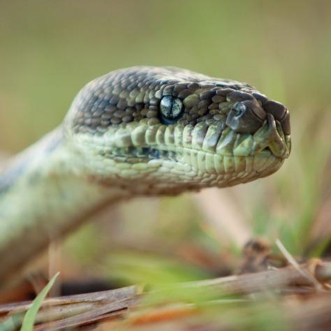 Carpet Python2