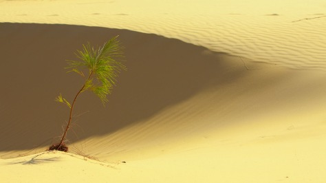 Casuarina on the dunes