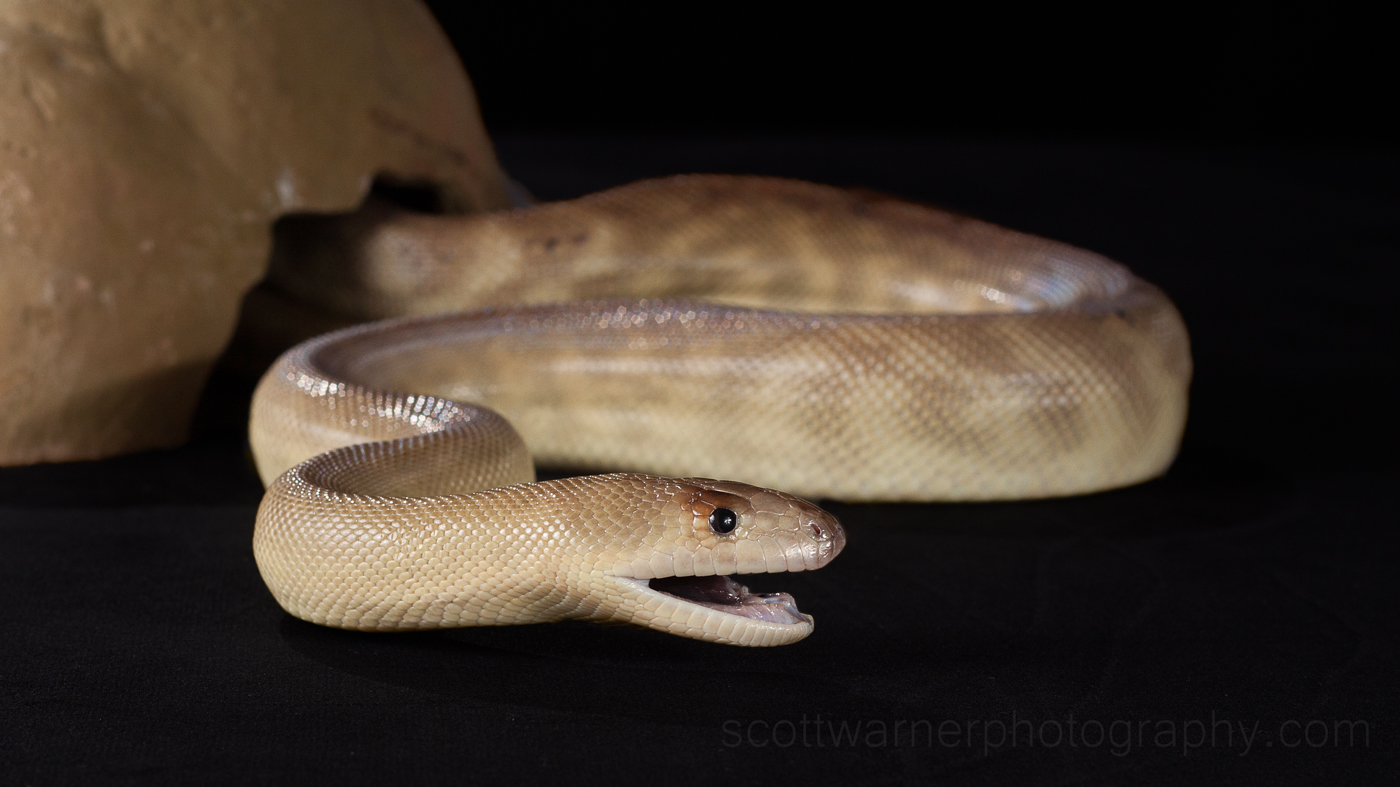Close up python encounters | Scott Warner Photography