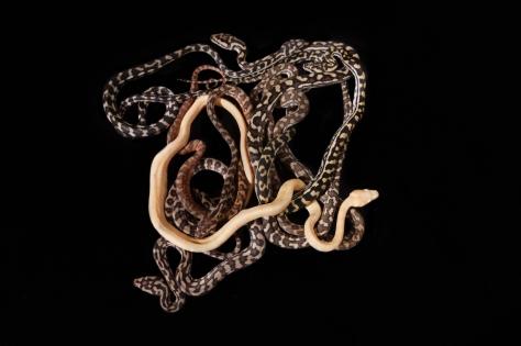 Baby pythons